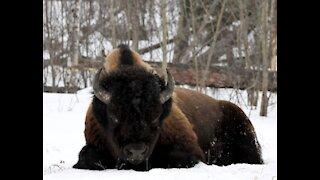 Woodland Bison winter fedding