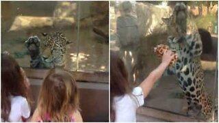 Denne jaguaren i USA vil leke