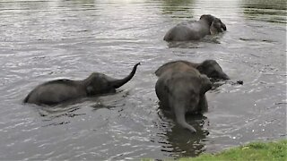 Adorable baby elephants play in the river on a hot day