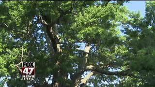 Homeowner tries to protect 100-year-old tree from sidewalk project