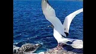 Gull shows her chick smooth liftoff without flapping her wings