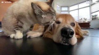 Gato dá banho a cão em momento adorável!