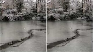 Ducks struggle across frozen lake