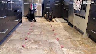 Cachorros competem para ver quem come mais depressa!