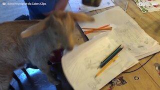 Cette chèvre tente de faire l'école à domicile