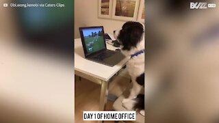 """Cão pastor """"trabalha"""" de casa durante quarentena"""