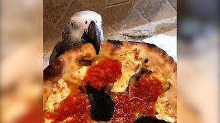 Ravenous parrot really loves eating pizza!