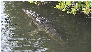 Endangered American crocodile spotted in Martin County