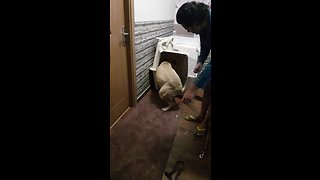 Guilty Bullmastiff puppy can't even face her crime