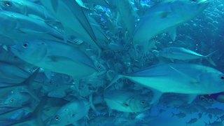 Massive school of fish completely surround scuba divers