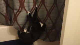 Cat stuck in shower curtain