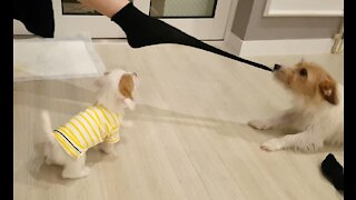 Jack Russell removes owner's socks every time she comes home