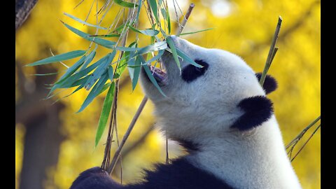Funny And Cute Panda Panda Videos Compilation 2021