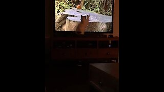 Cat attempts to catch birds on TV screen