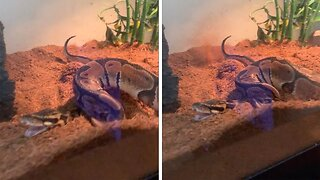 Sssilent But Deadly: Watch As This Snake Owner Caught His Ball Python Farting