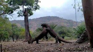 Epic Komodo dragon fight