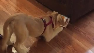 Puppy gets head stuck in box twice