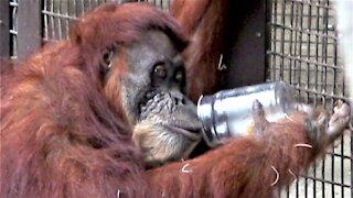 Orangutan enjoys tasty mango treats from a jar