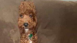 Dog plays hide-and-seek between sofa cushions