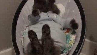 Gata adora relaxar em cadeira de bebé!