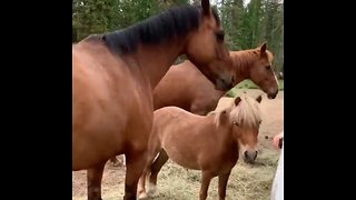 Four amazing horses load themselves into trailer