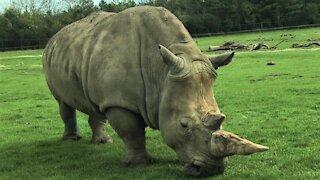 Majestic rhinoceros grazes casually beside the road on safari