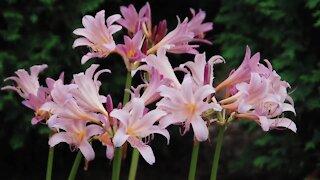 Melinda's Garden Moment – Add surprise lilies to your garden