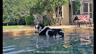 Mom and Dad Cheer As Great Dane Lays Down In the Pool For the First Time