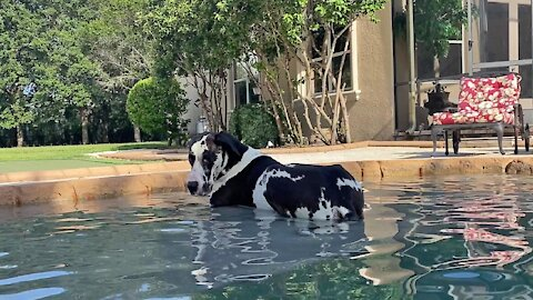 Great Dane decides to lay down in the pool for the first time