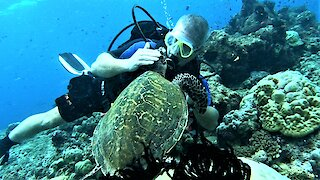 Friendly Hawksbill sea turtle begs for food from scuba diver