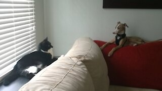 Italian greyhound puppy busts a move 💃 on the cat 🐱