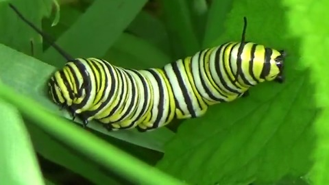 Is this a two-headed caterpillar?