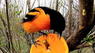 Beautiful oriole enjoys an orange at this ingeniously simple bird feeder