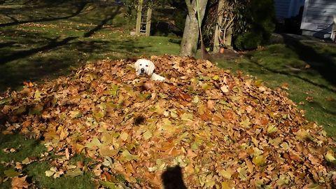 Labrador Retriever Loves Leaf Piles