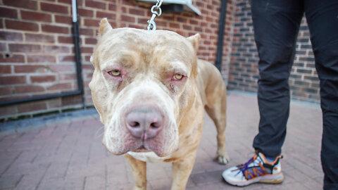 Meet Aftermath's Son - Marshall The 115lb Merle Bully | BIG DOGZ