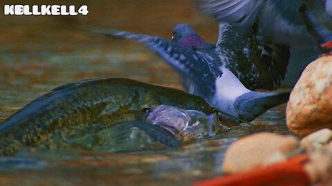 Catfish attacks Pigeon at the water's edge