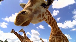 Digital Zen: Giraffes of Lion Country Safari