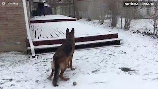 Pastor Alemão brinca e se diverte na neve