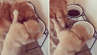 Jealous puppy is determined to drink from big dog's bowl