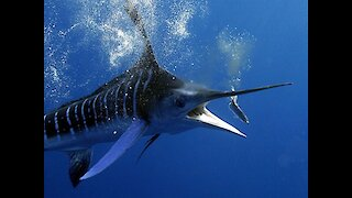 Majestic 4K underwater footage of a striped marlin