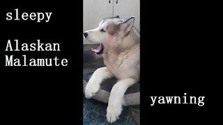 Sleepy malamute yawning