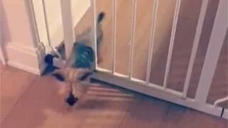 Ninja dog easily slides through gate