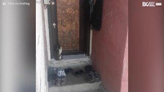 Poli, ce chat frappe à la porte avant d'entrer