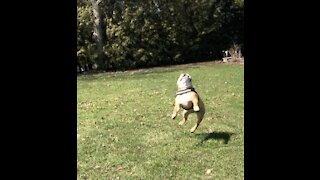 Bulldog gets an excellent workout chasing after a drone
