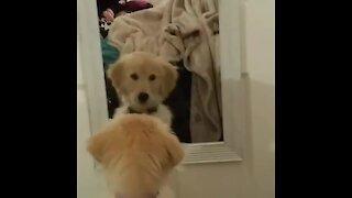 Golden Retriever puppy fights her mirror reflection