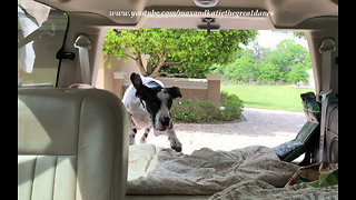 Excited Great Dane and Puppy Can't Wait to go for a Car Ride