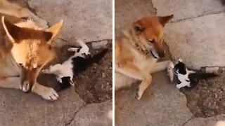 Elderly dog infatuated with new kitten best friend