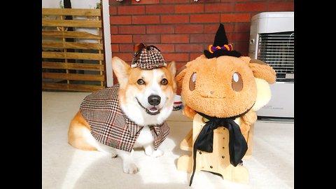 Corgi dresses up as detective for Halloween