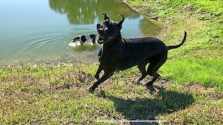 Joyful Great Danes Love to Run and Have Fun in the Sun
