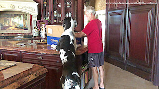 Great Dane Puppy Checks out Chewy Canidae Dog Food Delivery